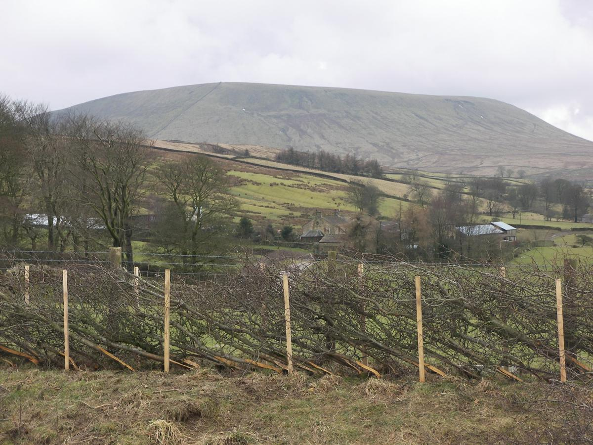 Rimington hedge (credit Forest of Bowland AONB)
