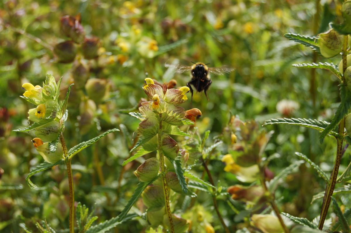 Bumble Bee on Yellow Rattle, image by C Parry
