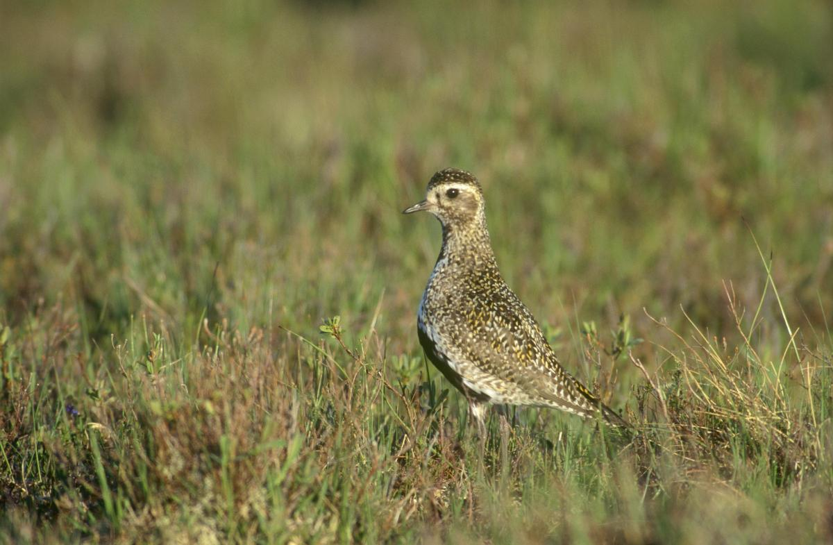 Golden Plover by Chris Gomersall