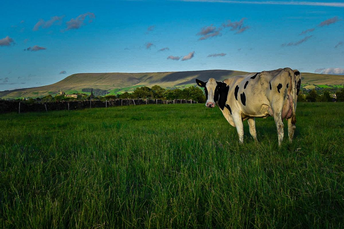 The cows of Thirty Acre Farm admiring Pendle Hill by Hazel Stansfield