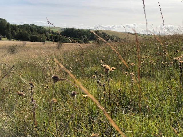 Saw-wort seed heads near Gisburn Forest 2019