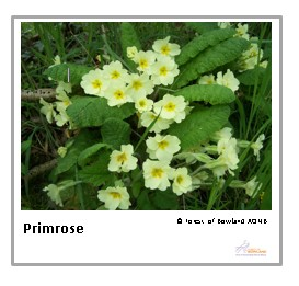 Primrose playing card thumbnail - Forest of Bowland AONB