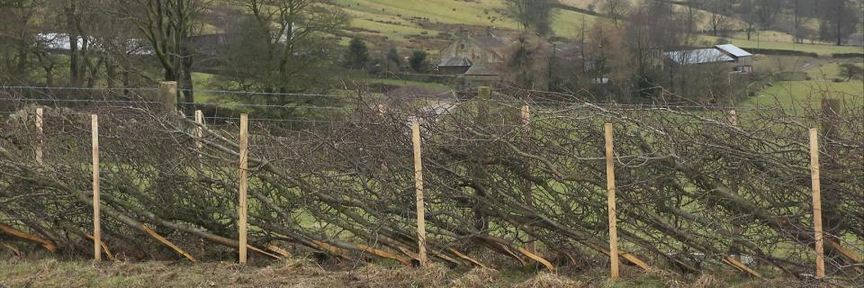 Laid hedge below Pendle Hill (photo: Forest Of Bowland AONB)