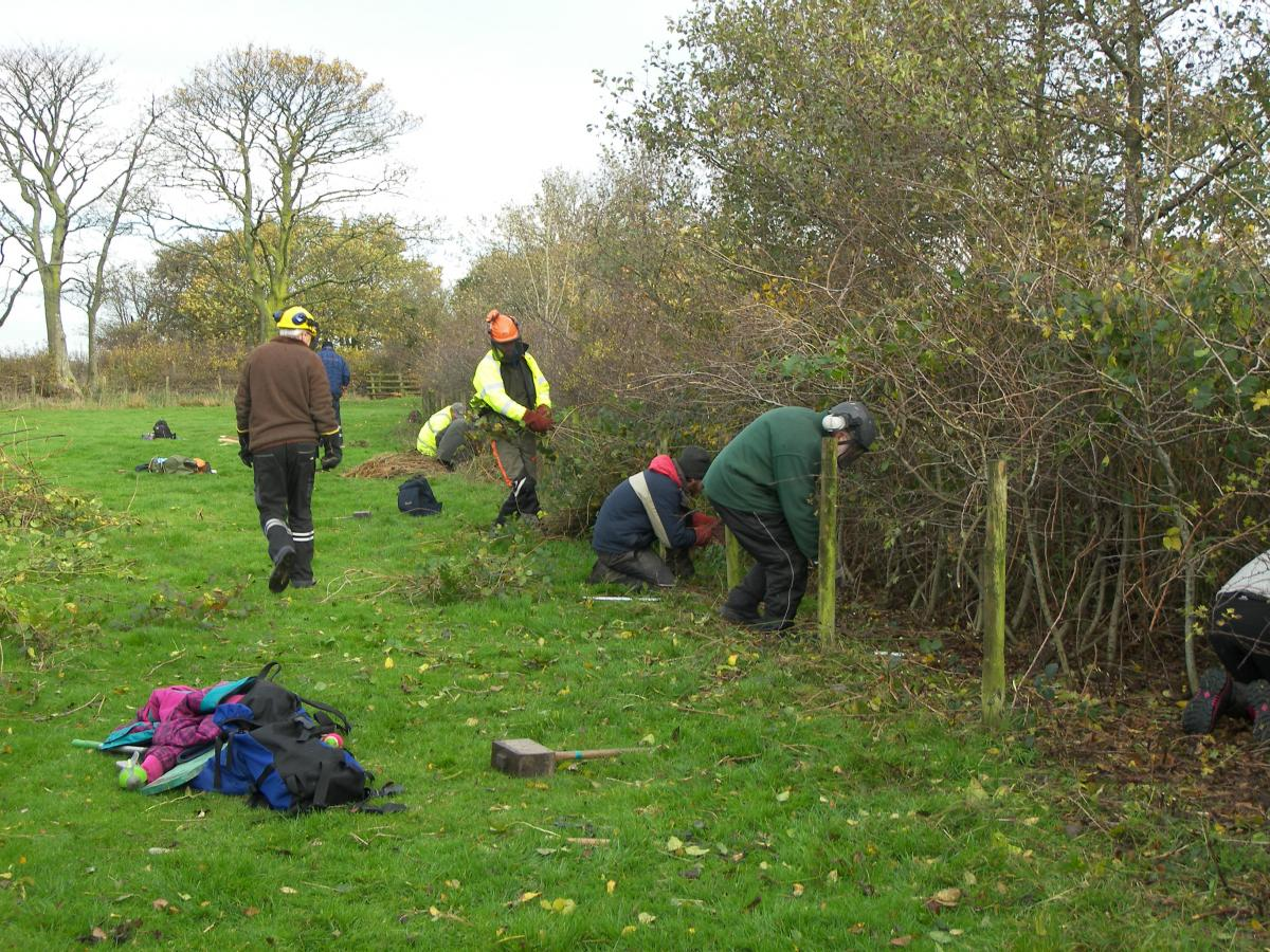 Hedge laying volunteers