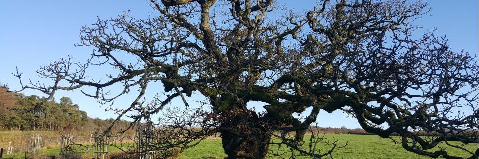 Veteran tree in Bowland (R Gray)