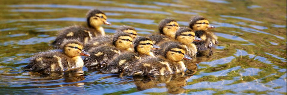 Ducklings by Steven Kidd