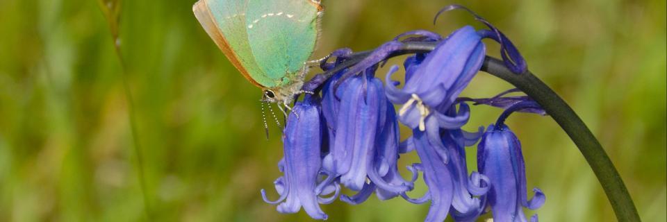 GreenHairstreak by Jim Asher - Butterfly Conservation