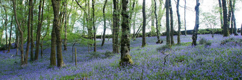 Bluebell Wood by Alan Kilduff