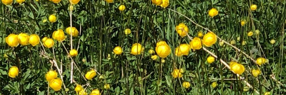 Globe Flower (Forest of Bowland AONB)