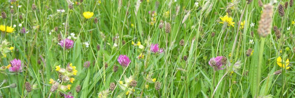 Coronation Meadow