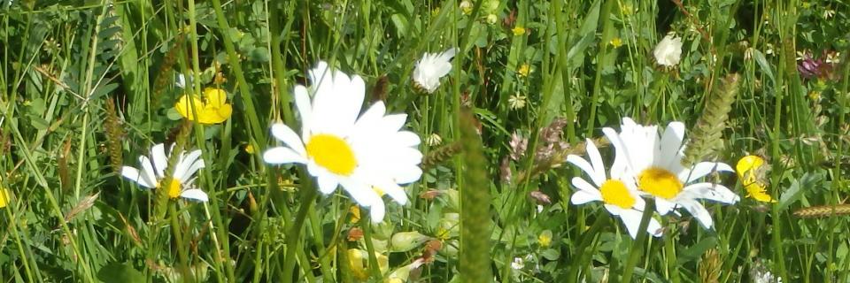 Oxeye Daisy, Lowgill