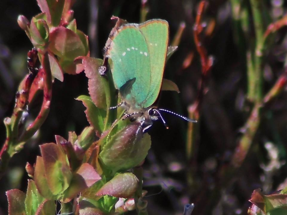 Green Hairstreak Butterfly by Jeff Gorse