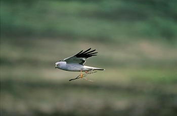 Copyright Andy Hay, RSPB