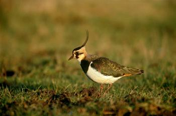 Lapwing - image by Chris Gomersall