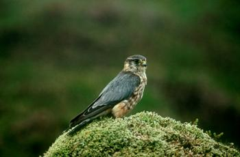 Copyright Chris Gomersall, RSPB