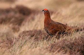Red Grouse - image by Tom Marshall