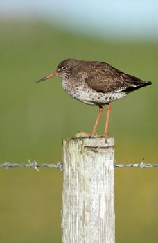 Red Shank - image credit Jon Hickling