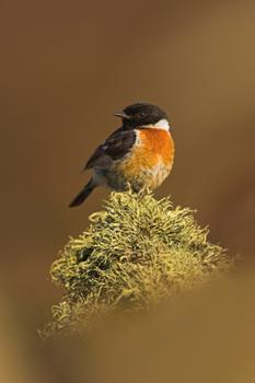 Stone chat - image by Ben Hall