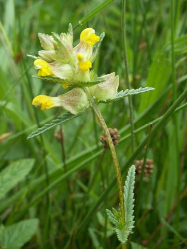 Yellow Rattle - image credit Jon Hicklnig