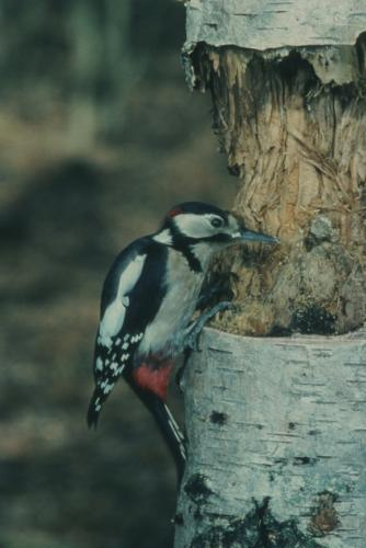 Great Spotted Woodpecker - image credit Jon Hickling