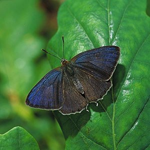 Purple Hairstreak - image credit Jon Hickling