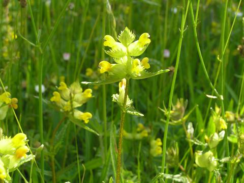 Yellow rattle © P Rayner, YDMT