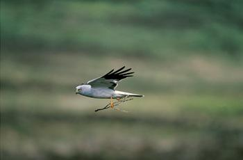Hen Harrier male, image copyright Andy Hay