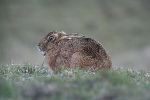 Hare © Barrie Tyrer