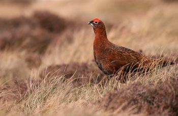 Red Grouse © Tom Marshall