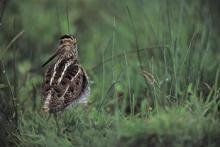 Snipe  © Andy Hay